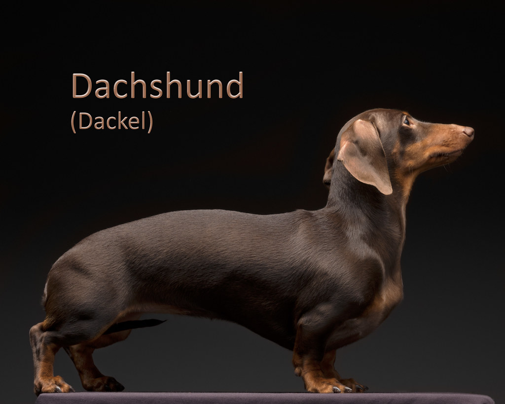 the world 39 s best photos of dachshund and dackel flickr hive mind. Black Bedroom Furniture Sets. Home Design Ideas
