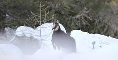 Camosci24 (Lunghefocali.snc) Tags: camoscio rupicaprarupicapra dolomiti valdifiemme trentino altamontagna biancoenero wildlife nature