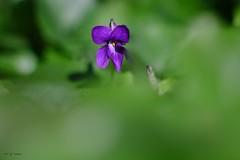Violette toulousaine (jpto_55) Tags: violette fleur proxi bokeh xe1 fuji fujifilm omlens om135mmf28 hautegaronne france