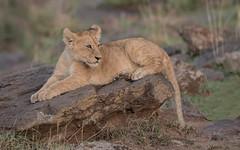 One of the 'Rekero Pride' lion cubs (tickspics ) Tags: africa iucnredlistvulnerable kenya lion masaimara masaimaranationalreserve pantheraleo themara