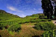Cameron Highlands (Phalinn Ooi) Tags: cameronhighlands cameronhighland pahang malaysia asia malaysian nature scenery permandangan alam lanscape green beautiful view stunning flora fauna agriculture plants plantation tea boh bharat family son wife pretty love sexy wanderlust explore jalan cuti travel tour tourism holiday relax chill camera canon adventure eos dslr 5dm4 50mm 85mm 2470mm 815mm bokeh people portriat market trump melania media kimjongnam butterfly flower animals hotel district outdoor