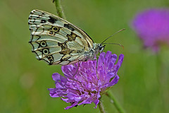 Melanargia galathea - the Marbled White (BugsAlive) Tags: butterfly butterflies mariposa papillon farfalla schmetterling бабочка animal outdoor insects insect lepidoptera macro nature nymphalidae melanargiagalathea marbledwhite satyrinae wildlife ardèche plateaudesgras bidon liveinsects france