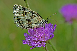 Melanargia galathea - the Marbled White
