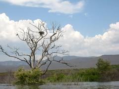 2009/365/137 Bald Eagle Tree