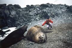 880202 Scratching elephant seals (rona.h) Tags: elephantseal cloudnine palmerstation ronah anversisland antactic vancouver27 bowman57