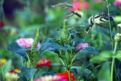 Zinnia & Weed (Silandi) Tags: flowers red plant flower color green nature germany deutschland weed natur pflanzen blumen zinnia 2009 zinnie renateeichert resilu