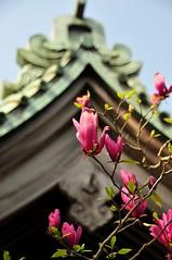 Magnolia (nikkorglass) Tags: pink beautiful japan tokyo spring nikon purple bokeh kamakura lila april magnolia nippon nikkor 18200 vr 2010 hasedera d300 springinjapan sakuraseason nikkorglass skr springintokyo