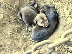 Cadena de hermanos/ Chain of brothers (Ladynet) Tags: dog chien pet pets black dogs animal animals beige cadenas negro perro perros mascotas chiens cadena metaldetail