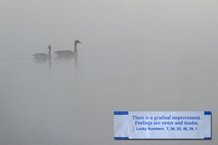 20070919 - There is a gradual improvement.  Feelings are sweet and tender. (sadalit) Tags: morning water misty geese pond couple sweet fortunecookie fortune series tender improvement feelings rapprochement fortunecookiemessageseries
