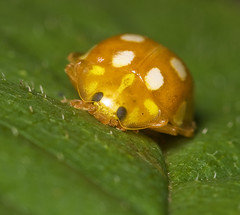 "Orange Ladybird (Halyzia sedecimguttata) • <a style=""font-size:0.8em;"" href=""http://www.flickr.com/photos/57024565@N00/1695503211/"" target=""_blank"">View on Flickr</a>"