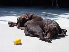 Labs Resting and Sunning
