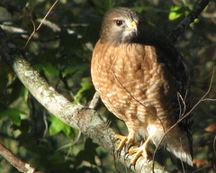 Red-shouldered Hawk ... ready for take-off!