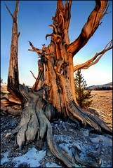 roots into rock (jody9) Tags: tree sierranevada ancientbristleconepineforest 11500feetup theoldestlivingthings over4500yearsold