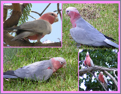 Galahs - aka - Rose-breasted Cockatoo [Eolophus roseicapillus] (Mr D Rex) Tags: bird parrot australia nsw hay cockatoo parrots galahs galah cacatua cacatuaroseicapilla eolophusroseicapillus pinkcockatoo roseicapilla rosebreastedcockatoo