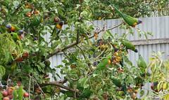 lorikeets in apple tree (wattleranger) Tags: green birds fruit apples lorikeets