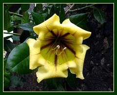 Solandra maxima. Cup of gold vine. Copa de Oro. (Linda De Volder (the new layout is horrible)) Tags: flower fleur yellow jaune geotagged flora flor yellowflower nightshade amarillo gelb tenerife geel bloem solanaceae solandra floramarilla solandramaxima solanales chalicevine solandragrandiflora solandranitida cupofgoldvine lindadevolder
