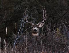Big Mule Deer Buck (ronjbaer) Tags: wild nature look animal monster photo big looking scout deer ron antlers hide rack nd huge badlands buck muledeer find hunt scouting antler medora