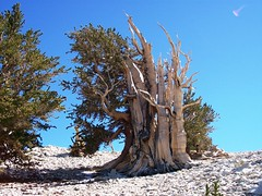 Thousand-plus-year-old bristlecone pine tree ekeing out a living above 11,000 feet elevation - inyo77 (mlhradio) Tags: california trees forest whitemountains bristlecone inyo inyonationalforest ancientbristleconepineforest patriarchgrove mlhradio