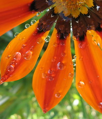 Water droplets clinging to gazania. (JannK) Tags: flower gazania southerncalifornia waterdroplets riversidecounty awesomeshot 10faves anawesomeshot colorphotoaward irresitablebeauty diamondclassphotographer flowerpicturesnolimits macrophotosnolimits macromarvels goldstaraward macroflowerlovers
