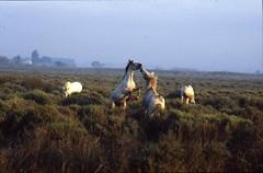 Camargue (The Hunter of Light) Tags: horses minolta top20horsepix pferde chevaux camargue srt 101b