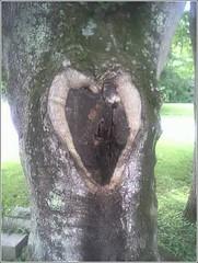 Heartwood (Lauren Bansemer) Tags: cameraphone wood tree love heart natural valentine stump