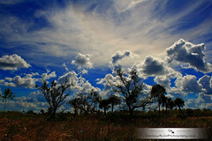 Blue Tree (Chrissy Avila Photography (cHrIsSy1554)) Tags: landscape photography llovemypic okaloacoocheesloughstateforest ©csquaredphotography chrissy1554 ©christinaavilaphotography ©chrissyavilaphotography wwwchrissyavilaphotographycom