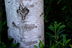 """2008_366067 - Birch Art • <a style=""""font-size:0.8em;"""" href=""""http://www.flickr.com/photos/84668659@N00/2317105464/"""" target=""""_blank"""">View on Flickr</a>"""