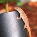 Gecko Hunt #13