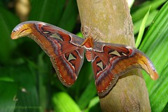 Atlas moth (Shutter_Hand) Tags: camera usa naturaleza nature beauty digital butterfly insect sony moth papillon atlas mariposa attacusatlas insecto atlasmoth polilla miguelmendoza naturewatcher novideoonflickr
