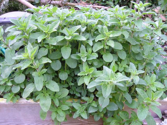 Photo: Origanum vulgare