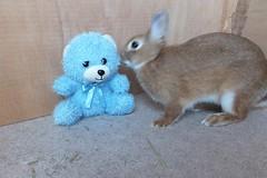Ichigo san 598 (Ichigo Miyama) Tags: いちごさん。うさぎ。 rabbit bunny netherlanddwarf brown ichigo ネザーランドドワーフ ペット いちご うさぎ