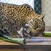 Jaguar Gamboa Wildlife Rescue pandemonio 2017 - 13