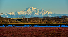 View of Mount Baker from Delta, BC (★spetersonphotography★) Tags: mountbaker mountain farms cranberries cranberryfarm landscape mountainlandscape britishcolumbia canada washington delta farmland scenery nikond5200 nikon nikonafs55300mmf4556gedvr fields view
