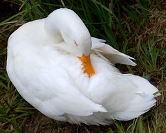 Shhhh ! Cant you tell im sleeping. (tracyhughes2_7. CPAGB LRPS) Tags: sleeping orange white bird nature animal kent sleep beak feathers aug mywinners 100commentgroup thewonderfulworldofbirds saariysqualitypictures newgoldenseal