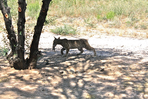 Back Yard Bobcat!