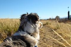268/365 Cap (BlueDog_1199) Tags: blue dog canon puppy rebel shepherd australian days cap captain 365 aussie australianshepherd merle t1i