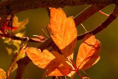 DSC_0055.JPG (webber0075) Tags: autumn red usa sunlight fall leaves evening leaf colorado brighton translucent adamscounty aroundthehouse commercecity thewest nearbarrlake unincorporatedarea