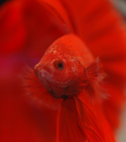 Is CopperSafe Safe? – Treating Velvet Disease Safely - Fish Care