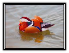 Mandarin Duck / Wood Duck (Zeetz Jones) Tags: fowl mandarinduck woodduck worldsbest almansorpark supershot alhambraca aplusphoto avianexcellence colourartaward