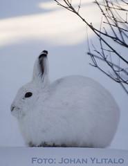 skogshare (4) (Johan Ylitalo) Tags: animal hare skogshare