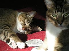 Cat Fight 10 (LaBrunetteNouvelle) Tags: cats sun cat fight chat kitty gato kitties tanner katze kiwi catfight