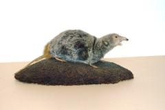 Taxidermy Small Mammal Photo