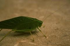 IMG_2297 (Large) (asphaltwanderer) Tags: insects bugs katydid