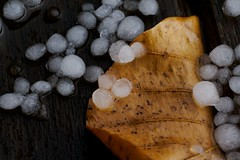 Goodbye autumn (Dan Weaver) Tags: autumn winter cold macro ice weather hail contrast leaf soe tabletop icey hailstones shieldofexcellence theperfectphotographer