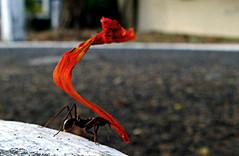 A(n)t Work. (Rodrigo Valena) Tags: summer wallpaper brazil animal brasil work photography trabajo rojo bresil ant hard pinkfloyd vermelho explore cruz verano passion vegetation vero material recife wallpapers papel rodrigo atwork papeis pernambuco parede trabalho hormiga nordeste vegetarianism fondos formiga vegetacion papeldeparede rvc cubism valena ufpe naturesfinest fondodepantalla fondosdepantalla explored passionphotography vegeteo duetos anawesomeshot flickraward papeisdeparede excapture rodrigocruz theperfectphotographer rvc77 rodrigovalena rodrigovalenacruz