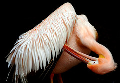 Pelican (floridapfe) Tags: bird birds animal animals zoo nikon feather pelican korea southkorea act everland amzing  supershot d80 golddragon abigfave platinumphoto anawesomeshot diamondclassphotographer megashot platinumheartaward