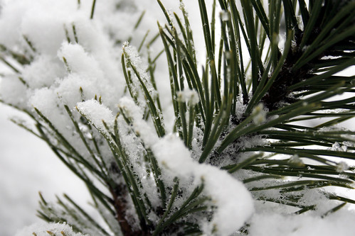Mugo pine branch covered in snow
