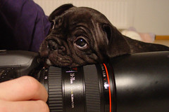I'm ready for my close-up (heidiana) Tags: dog cute male look bondi canon puppy lens frenc