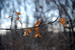 Tattered Leaves