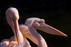 Pink Pelicans (Philipp Klinger Photography) Tags: pink light portrait black bird animal beak feathers pelican 70200 aplusphoto dcdead